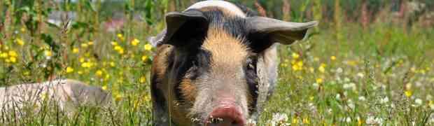 Ils sont sauvés les 80 000 cochons ?